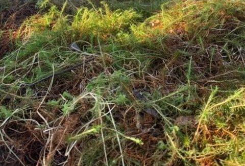 Hypnum moss detail